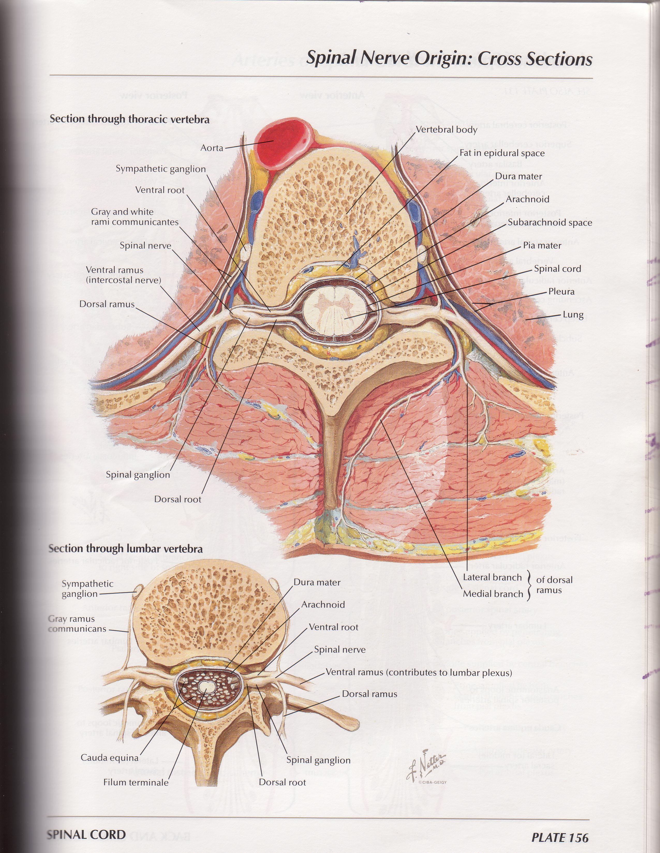 Dermatomes Netter Netter-vertebrae cro.   2551 x 3299 jpeg 1276kB